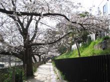 裁判所裏の小道の桜